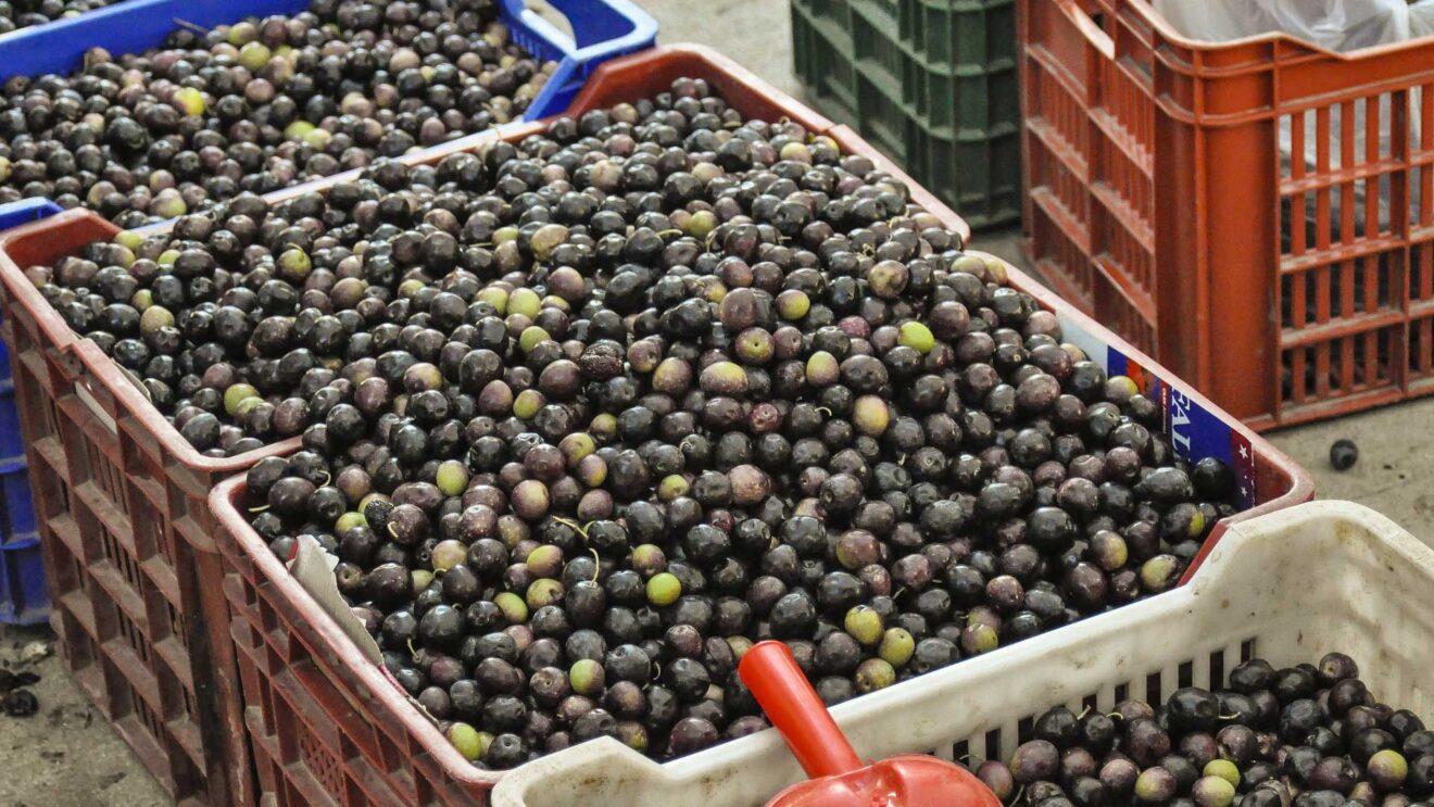 Wahrheiten, Ansichten und Tipps zum Olivenöl – Vorwort
